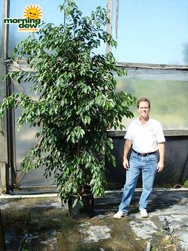 Ficus: Spire Weeping
