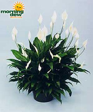 Spathiphyllum: Sweet Chico