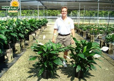 Spathiphyllum: Sweet Dario