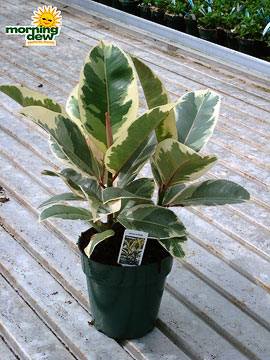 Ficus: Sylvie