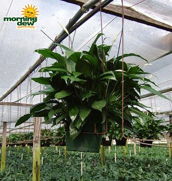 Spathiphyllum: Taylors Green