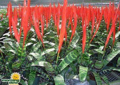 Bromeliads: Vriesea Splenreit