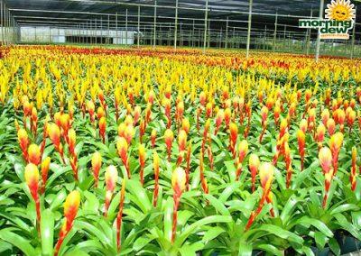 Bromeliads: Vriesea Tiffany