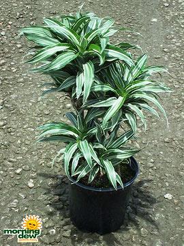 Dracaenas: Warneckii Compacta Cane (10 in.)